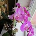 Уход за орхидеями Phalaenopsis в домашних условиях